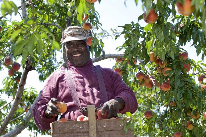 Seasonal Agriculture Worker Program Fact Sheet:     10 Myths vs Reality
