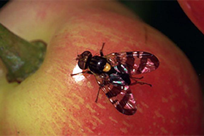 Confirmation de la présence de la mouche de la cerise en Ontario