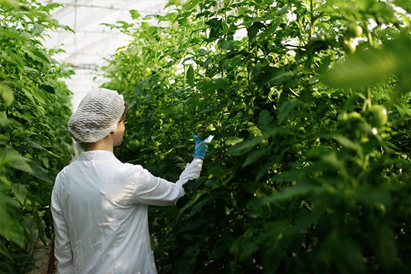 Woman in lab coat inspects greenhouse plants