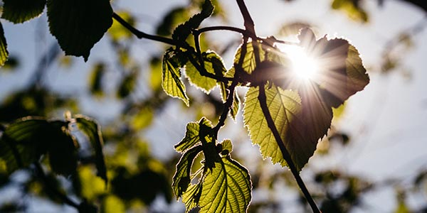 sun shines through green foliage