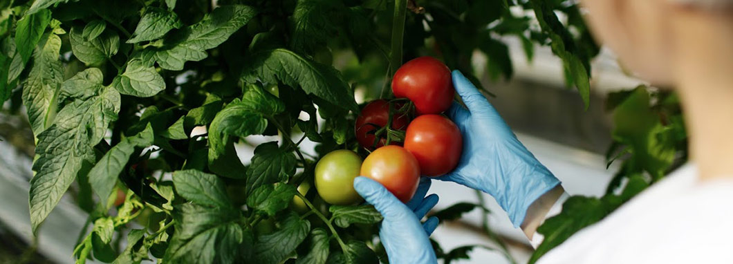 tomatoes with scientist hands
