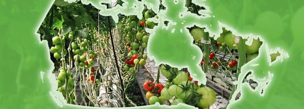 greenhouse tomatoes behind a map of Canada