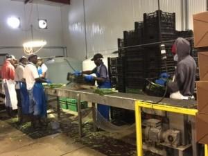 Grange d'emballage d'oignons verts chez Ryder Farms