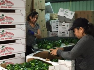 Green peppers in Chary packing barn