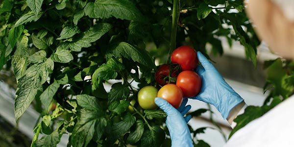 Tomatoes on a vine being inspected by scientist's gloved hands