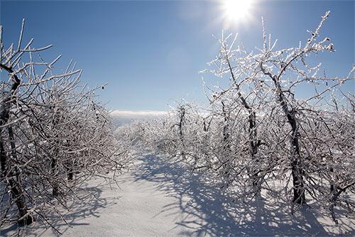 Frozen blueberry bushes