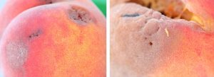 maggot damage on peach