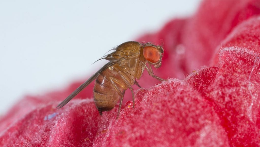 close up of spotted wing drosophila on rasberry