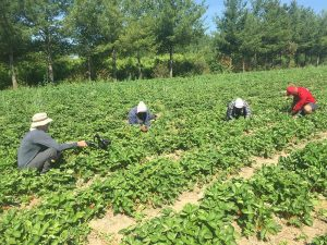 Phil Quinn and workers picking strawberries