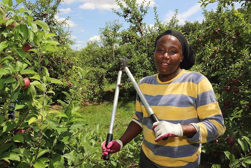 Woman pruning apple trees